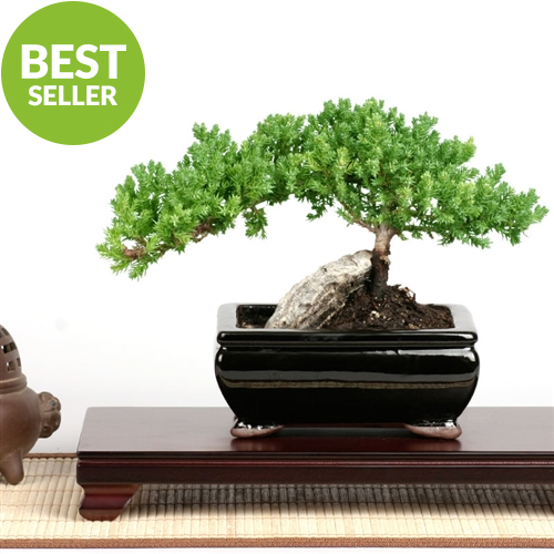 Bonzai Tree easternleaf - rock juniper bonsai tree - only $35.