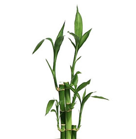 7 Stalks Of Lucky Bamboo of lucky bamboo stalks has