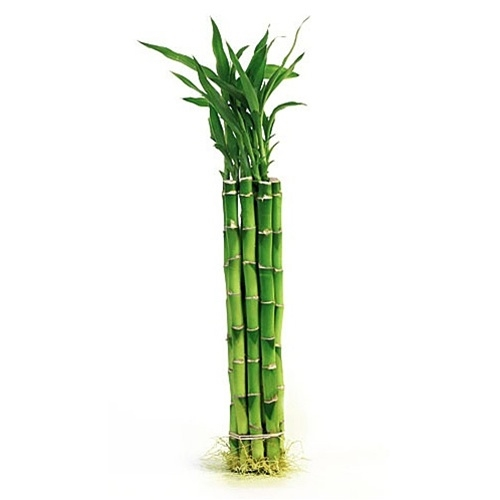 Lucky bamboo individual sticks from easternleaf