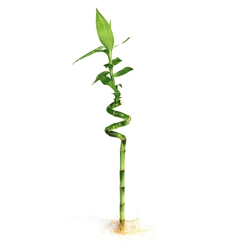 Lucky bamboo individual bamboo sticks from easternleaf our larger photo email sciox Gallery