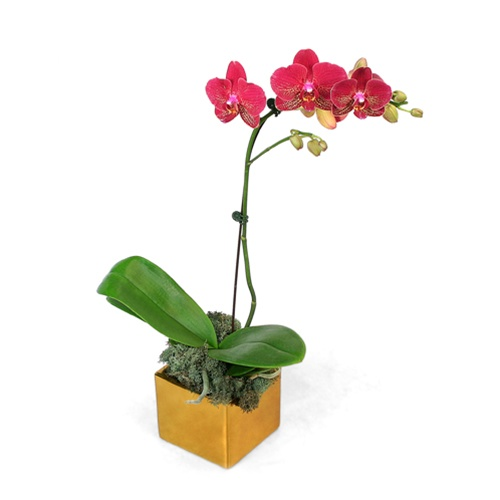 Red Mini Phalaenopsis Orchid In Gold Cube