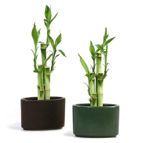 lucky bamboo arrangement modern oval. Black Bedroom Furniture Sets. Home Design Ideas