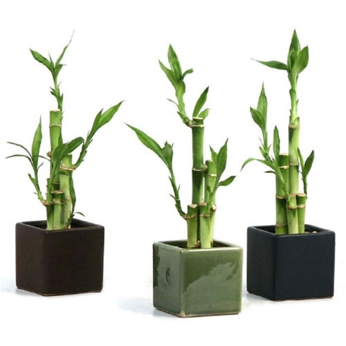 Lucky Bamboo Arrangement - Modern Square