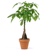 Braided Money Tree - Terracotta Pot