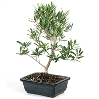 Bonsai - European Olive Bonsai