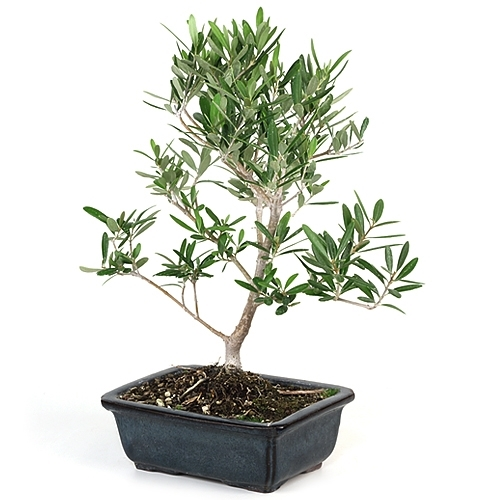 Little Ollie Olive Bonsai