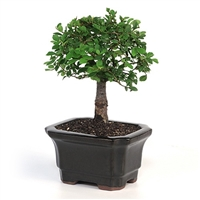Bonsai - Miniature Chinese Elm Bonsai Tree