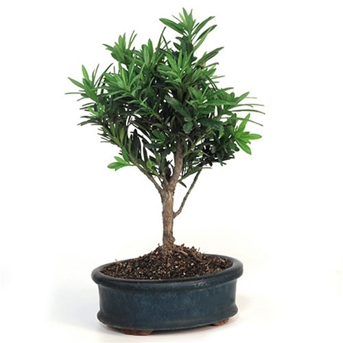 Bonsai Podocarpus From Easternleaf Com The Podocarpus