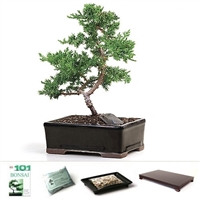 Trained Juniper Bonsai