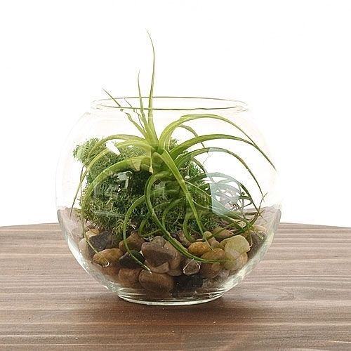 Air Plant Terrarium S: Fish Bowl Glass Terrarium