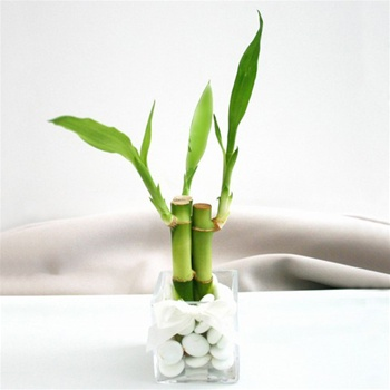 Simple Square Lucky Bamboo Wedding Favor