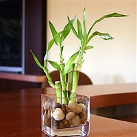 Lucky Bamboo Arrangement - Square Glass Short<!-- Lucky Bamboo -->