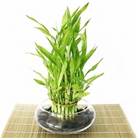 Lucky Bamboo Arrangement - Tiered Bamboo <!-- Lucky Bamboo -->