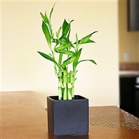 Lucky Bamboo Arrangement - Lucky 7 Spiral<!-- Lucky Bamboo -->