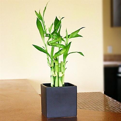 lucky bamboo arrangement lucky 7 spiral from. Black Bedroom Furniture Sets. Home Design Ideas