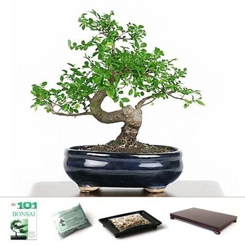Bonsai chinese elm bonsai