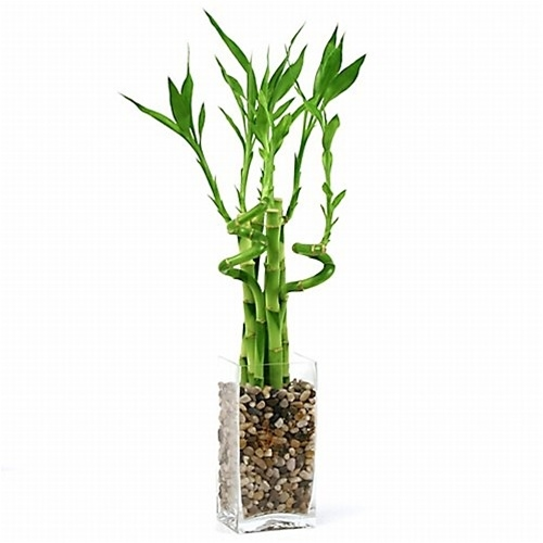 lucky bamboo arrangement natural glass from. Black Bedroom Furniture Sets. Home Design Ideas