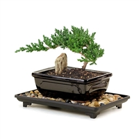 Bonsai - Young Juniper Bonsai