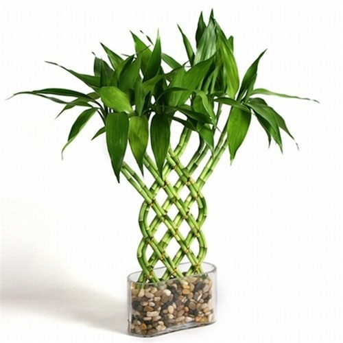 Lucky bamboo trellis lucky bamboo from for Plante bambou interieur
