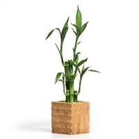 Wood Style Bamboo Lucky Bamboo Arrangement