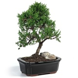 Bonsai - Trained Shimpaku Juniper Bonsai
