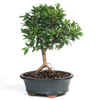 Bonsai - Eugenia Myrtifolia - Brush Cherry Bonsai