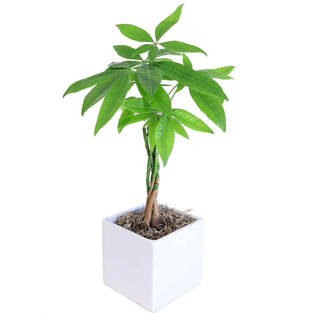 Braided Money Tree Cube Vase From Easternleaf Com