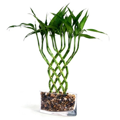 Lucky Bamboo Large Trellis Lucky Bamboo From Easternleaf Com