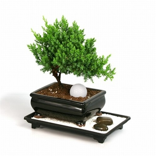 Bonsai - Juniper Bonsai Tree