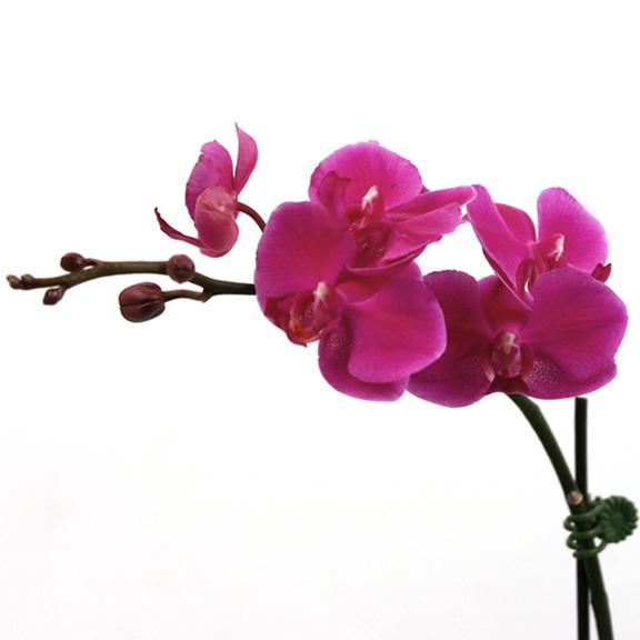 Dtps Queen Beer Quot Mantefon Quot Phalaenopsis Orchid