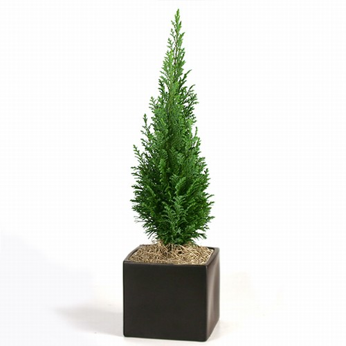 Bonsai Miniature Pine Bonsai Tree From Easternleaf Com