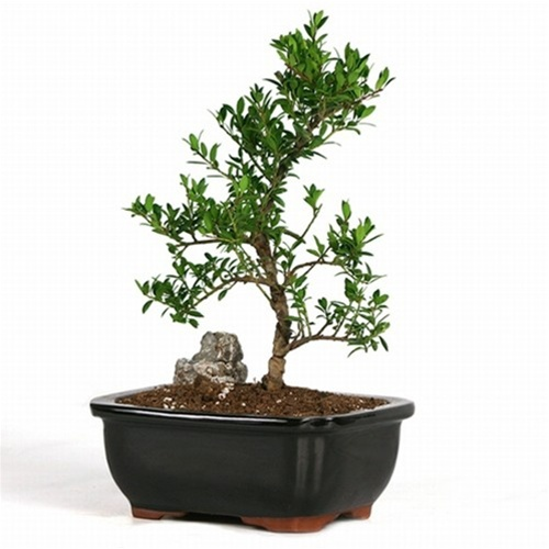 Bonsai Trained Olive Bonsai From Easternleaf Com Olive