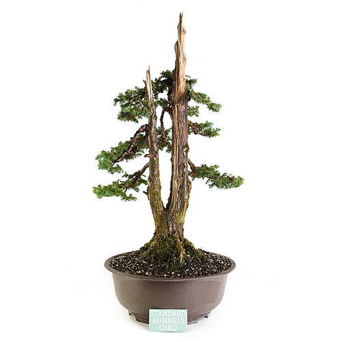 Foemina Upright Juniper Bonsai Tree