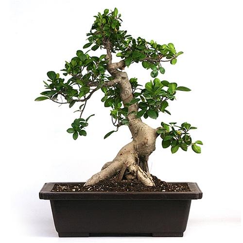 Grand Upright Ficus Thai Bonsai Tree