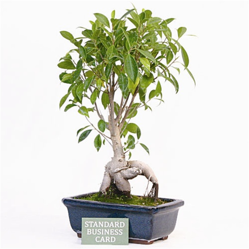 grand upright ginseng ficus bonsai tree. Black Bedroom Furniture Sets. Home Design Ideas