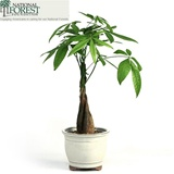 Braided Money Tree - Traditional