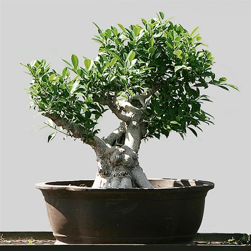 showcase ficus bonsai tree. Black Bedroom Furniture Sets. Home Design Ideas