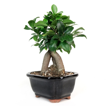 Bonsai - Ginseng Ficus Bonsai