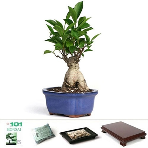 Bonsai ginseng ficus bonsai from - Bonsai ficus ginseng entretien ...