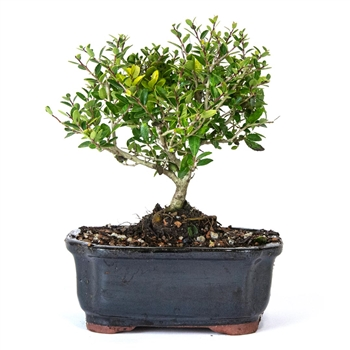 Bonsai - Yaupon Holly Bonsai Tree