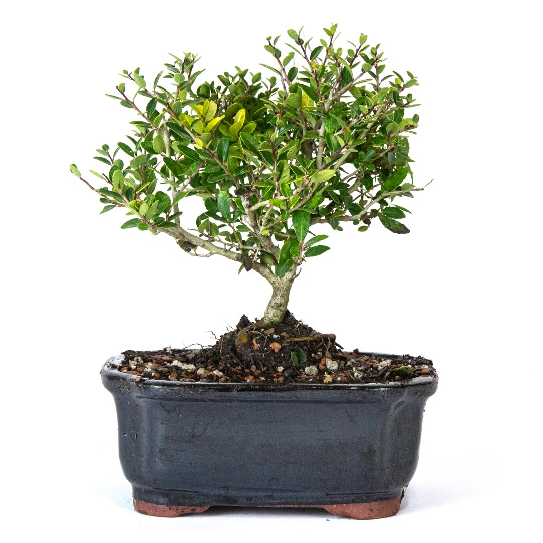 bonsai yaupon holly bonsai tree from