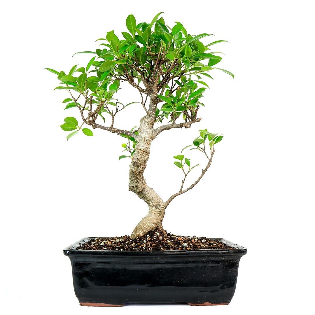 taiwan ficus bonsai tree from the taiwan ficus bonsai tree thrives in high. Black Bedroom Furniture Sets. Home Design Ideas