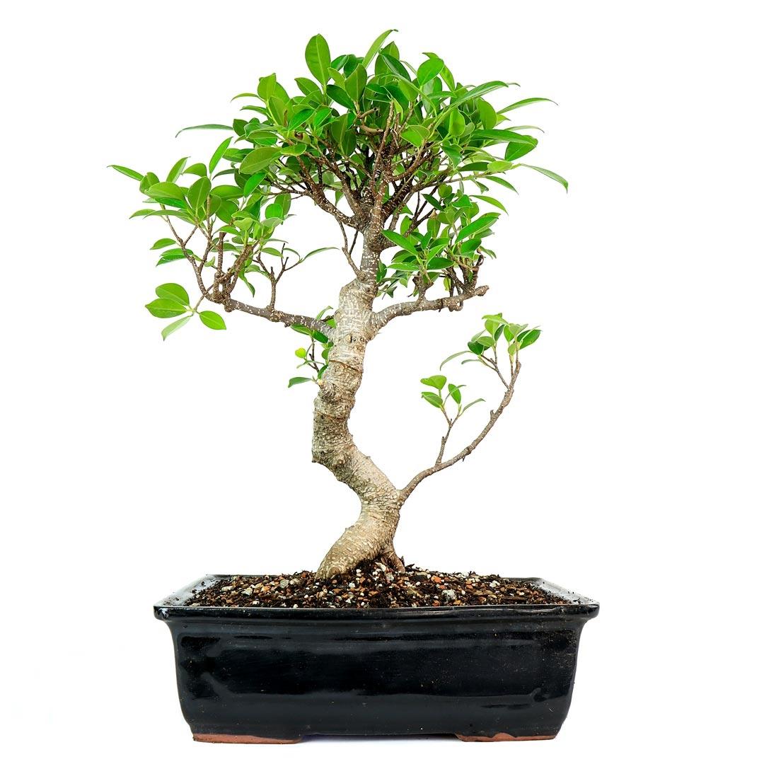 bonsai tree ficus. Black Bedroom Furniture Sets. Home Design Ideas