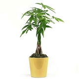 Money Tree - Ceramic Cylinder (Various Colors)