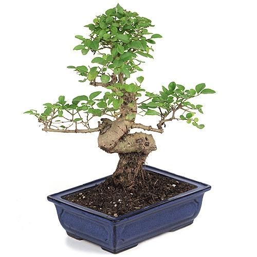 Bonsai Ligustrum Bonsai Tree From Easternleaf Com