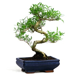 Chinese Serissa Bonsai Tree