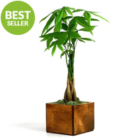 Money Tree - Wooden Pot
