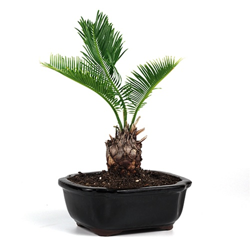 Bonsai Sago Palm Bonsai From Easternleaf Com The Sago