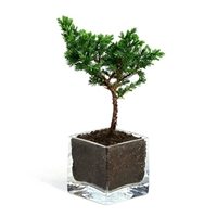 Bonsai - Mini Juniper Glass Vase Favor