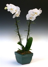 Orchid Arrangement - White